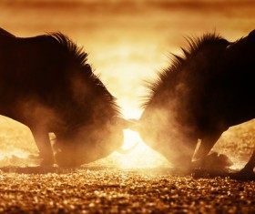 The battle between animals HD picture 07
