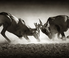 The battle between animals HD picture 09