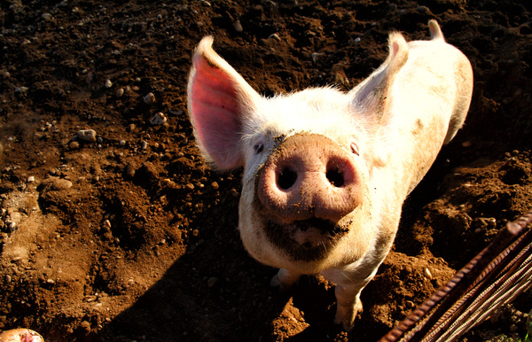 The little pig in the farm HD picture