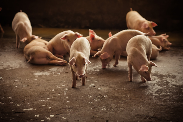 The little pig on the farm HD picture 01