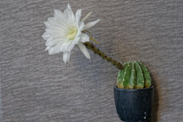 White cactus flower stock photo free download white cactus flower stock photo mightylinksfo