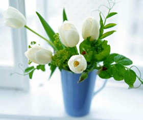 White tulip flower HD picture