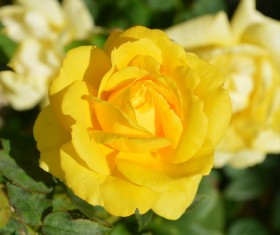 Yellow roses HD pictures