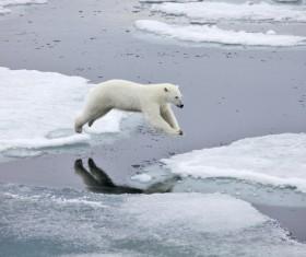 A polar bear jumping on ice Stock Photo
