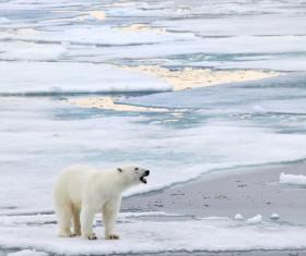 A polar bear standing on ice Stock Photo