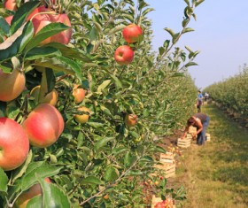 Apple orchard with harvested apples Stock Photo