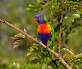 Australia sucking honey parrot Stock Photo