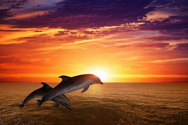 Beautiful ocean sunset with dolphin Stock Photo - Animal ...
