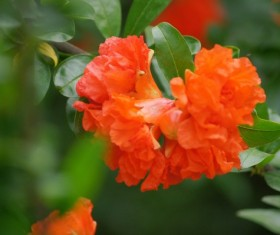 Bright red pomegranate flower HD picture