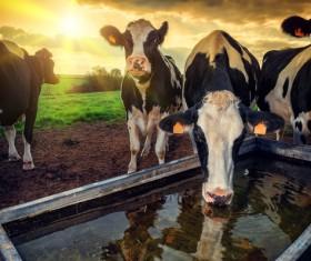 Cattle farm Stock Photo