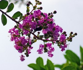 Crape myrtle flowers HD picture