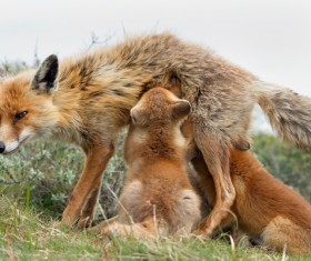 Feeding pups with red foxes Stock Photo