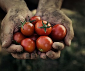 Harvest tomatoes Stock Photo