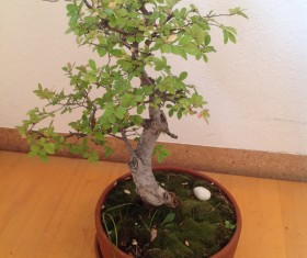 Indoor bonsai trees HD picture