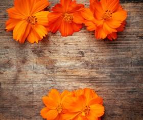 Orange small daisy HD picture