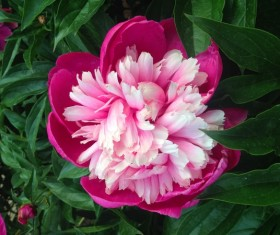 Pink peony flowers HD picture