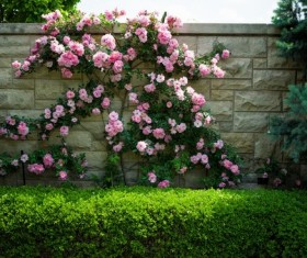 Pink rose flower wall HD picture