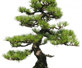 Pinus thunbergii HD picture