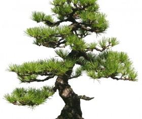 Pinus thunbergii HD picture