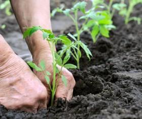 Planted seedlings Stock Photo