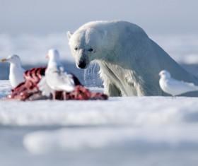 Prey to polar bears and seagulls Stock Photo