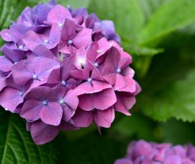 Purple Hydrangea Flowers HD picture