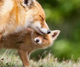 Red fox with cub Stock Photo