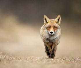 Run the red fox Stock Photo