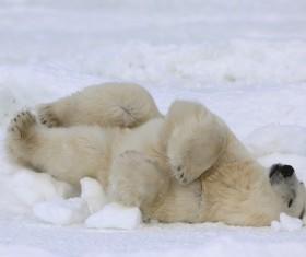 Sleeping polar bear Stock Photo