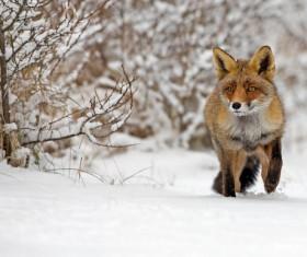 Snow red fox Stock Photo 01