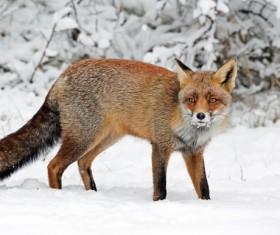 Snow red fox Stock Photo 02