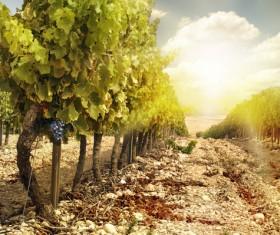 Solar valley of vineyards Stock Photo 03