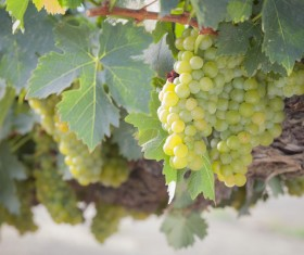 Solar valley of vineyards Stock Photo 08