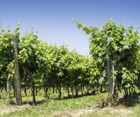 Solar valley of vineyards Stock Photo 14
