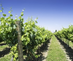 Solar valley of vineyards Stock Photo 19