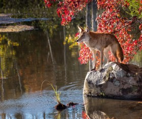 Standing wolf on stone Stock Photo