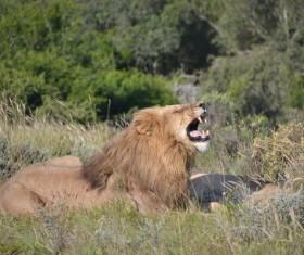 The lion roars Stock Photo