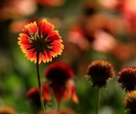 Tianren Chrysanthemum HD picture