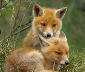 Two red fox cubs Stock Photo