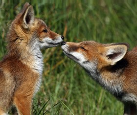 Two red foxes Stock Photo