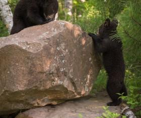 Two sluggish black bear cubs Stock Photo