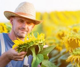 View Sunflower farmers Stock Photo 01