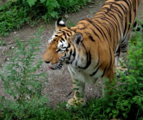 Wild Siberian tiger HD picture