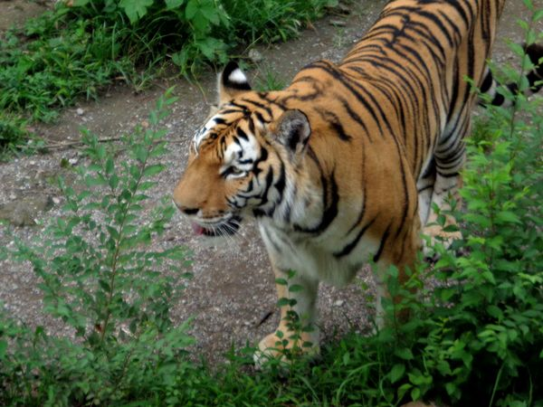 Wild Siberian tiger HD picture