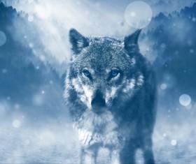 Wolf prey Stock Photo