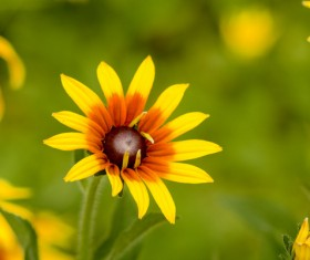 Yellow black heart chrysanthemum HD picture