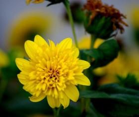 Yellow chrysanthemum HD picture