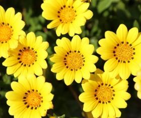 Yellow small wild chrysanthemum Stock Photo