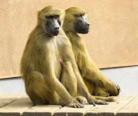 Zoo baboons Stock Photo