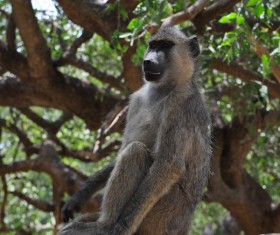 African baboons Stock Photo